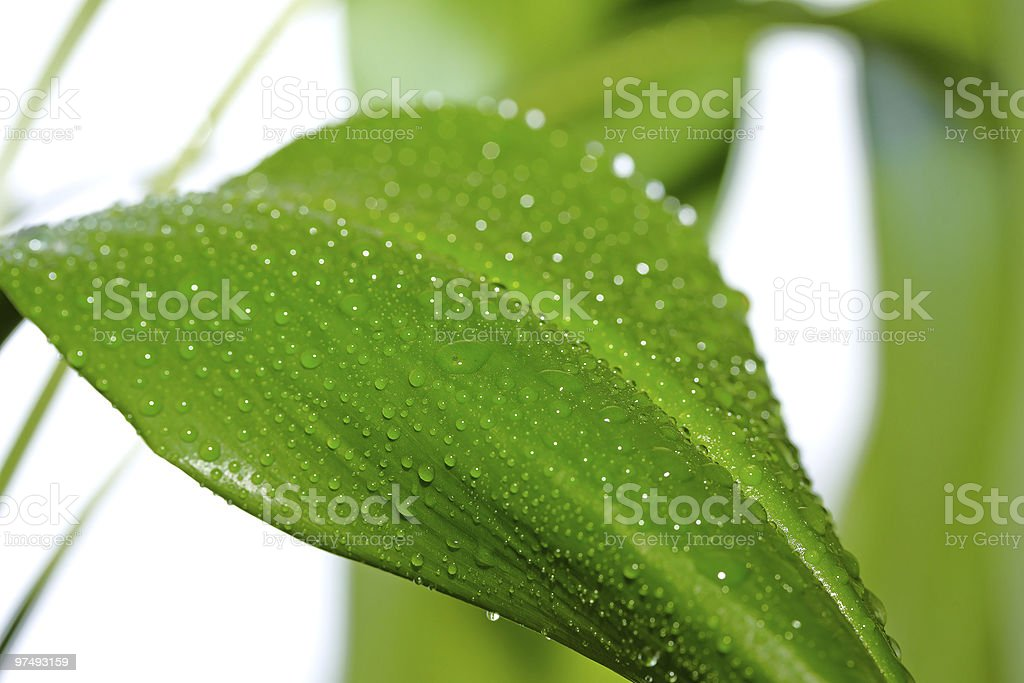 plant with drops royalty-free stock photo