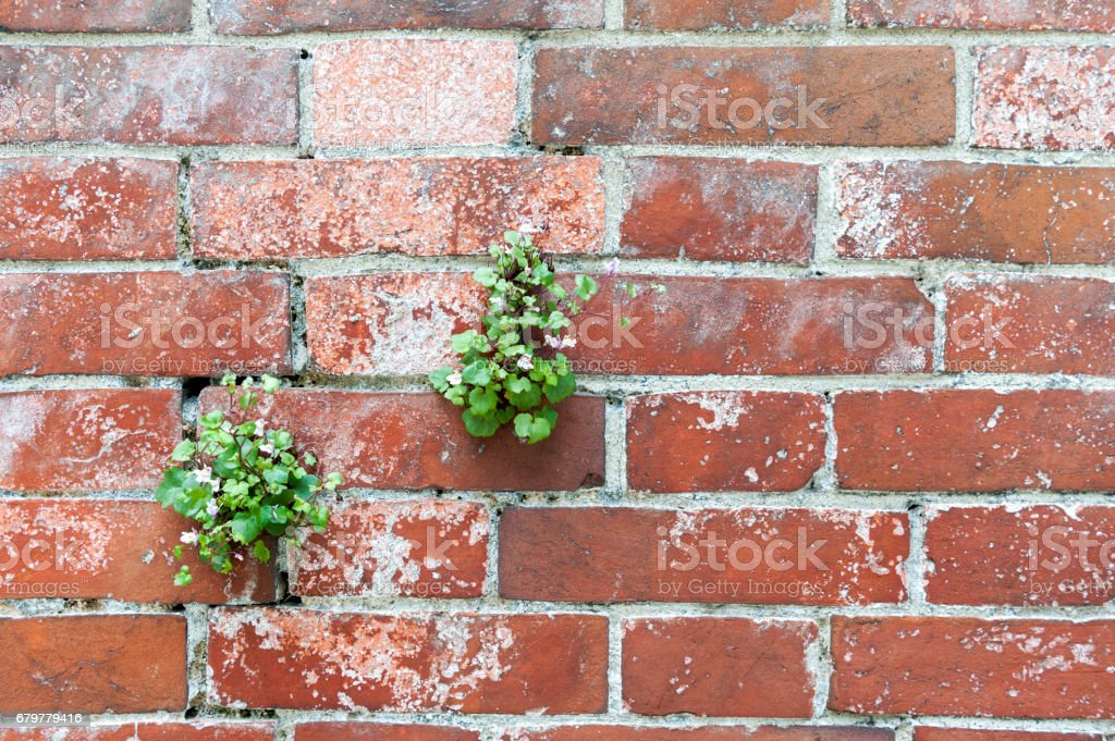 Plant with flowers on brick wall texture background stock photo