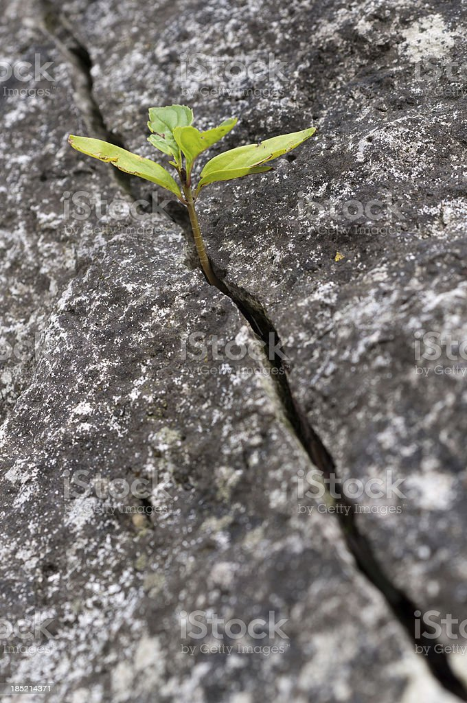 Plant with green leaves growing from a crevice stock photo