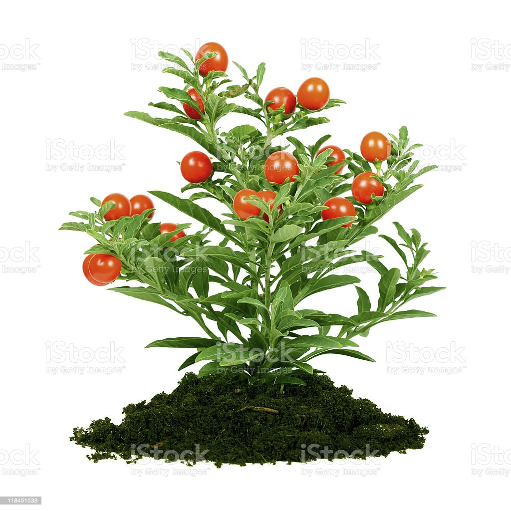 plant with red fruit stock photo