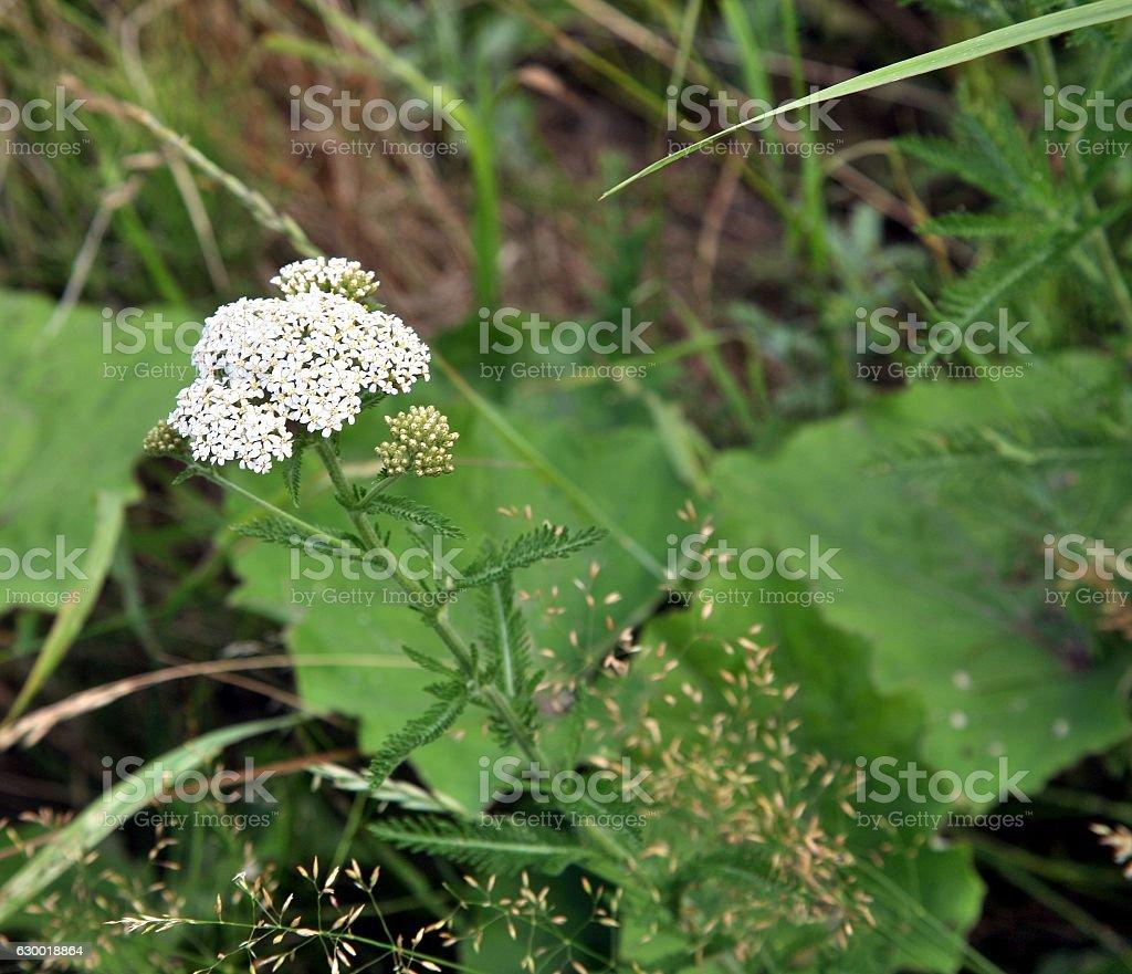 plant yarrow in bloom stock photo