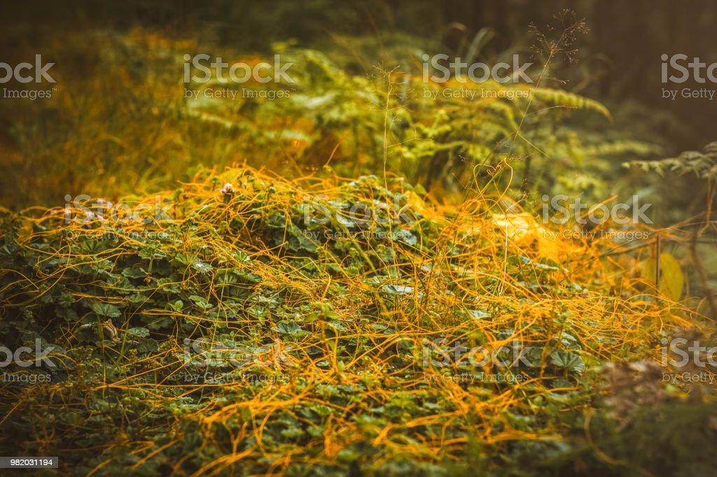 Planta Cuscuta - foto de stock
