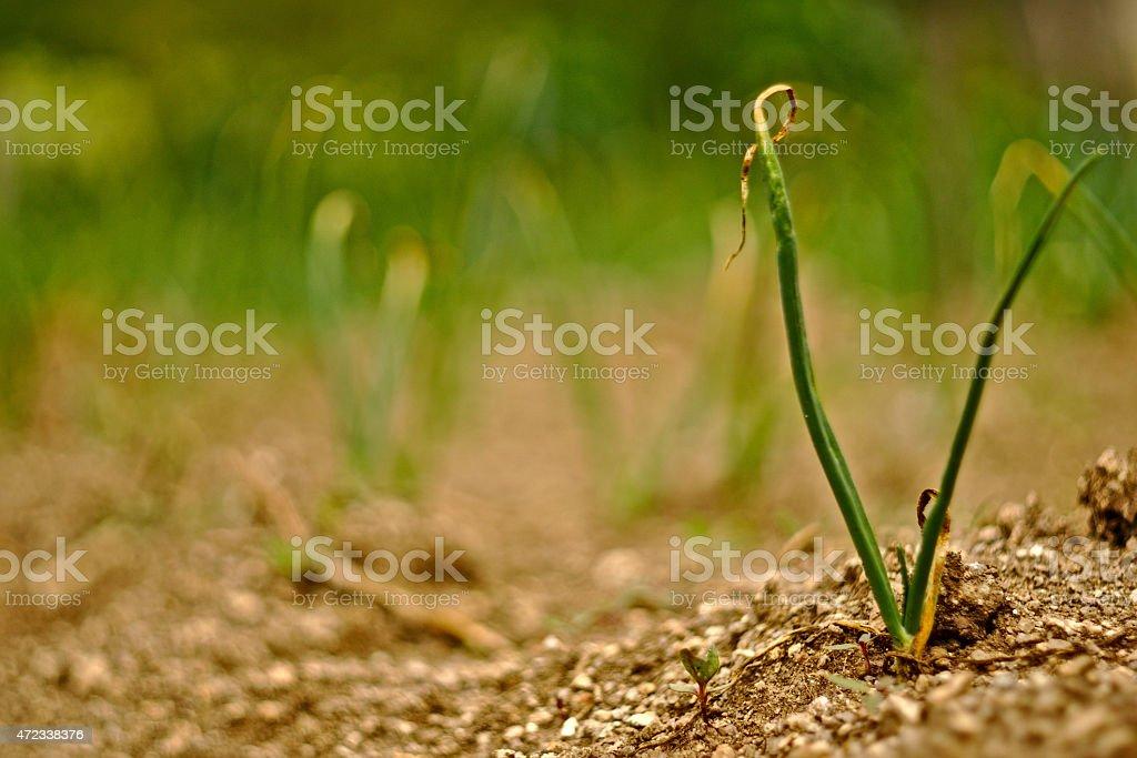 Planta de ajo stock photo