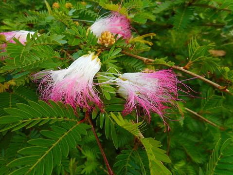 planta flor esponjinha - calliandra brevipes