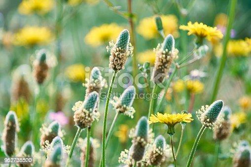 Plantago lanceolata on prairie ,  Barcelona's field near the beach