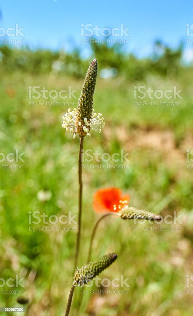 Plantago ovata macro shot royalty-free stock photo