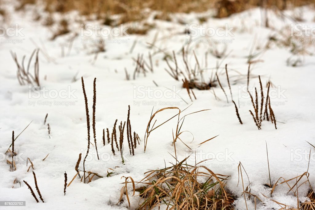 Plantago plantain in snow in winter stock photo