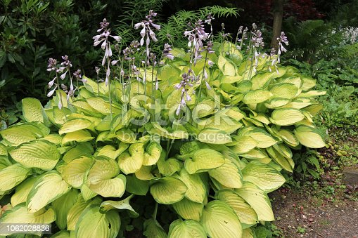 Plantain lilies (Hosta) growing in partial shade with pale lilac flowers and yellow leaves with green margins with ferns and shrubs in the background.