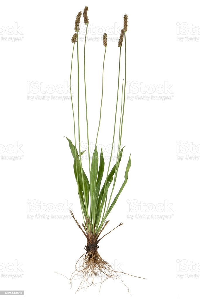 Plantain ( Plantago ) royalty-free stock photo