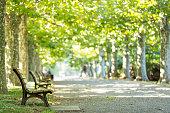 Plantanus trees in Japan