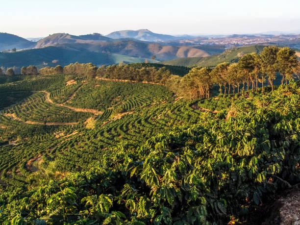 plantação de cefé em minas gerais- - plantage stock-fotos und bilder