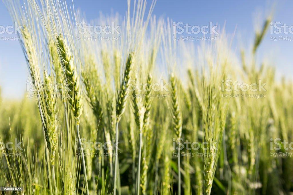 plantação de trigo クスクスのストックフォトや画像を多数ご用意 istock