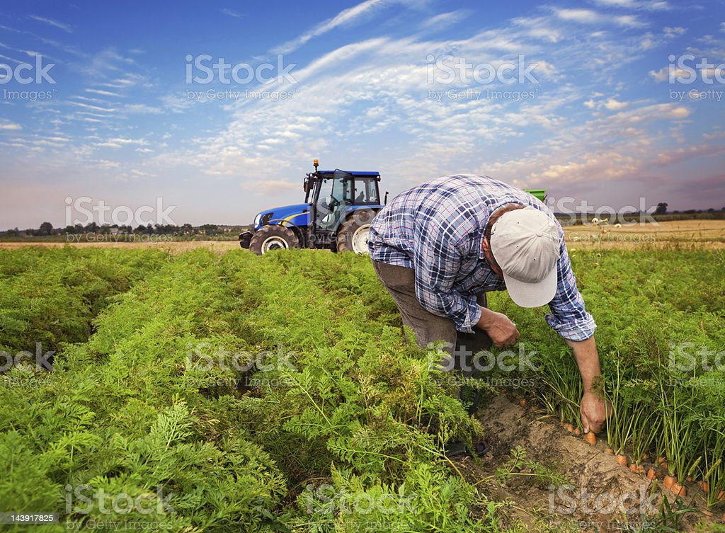 Plantation carrots stock photo