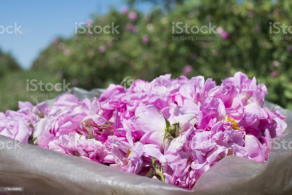 Plantation crops roses royalty-free stock photo