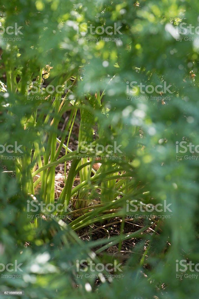 Plantation De Carottes En Terre Dans Un Jardin Bio Stock Photo Download Image Now Istock