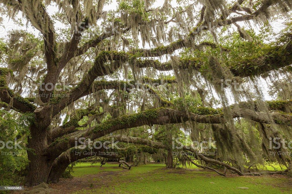 Plantation Oak royalty-free stock photo