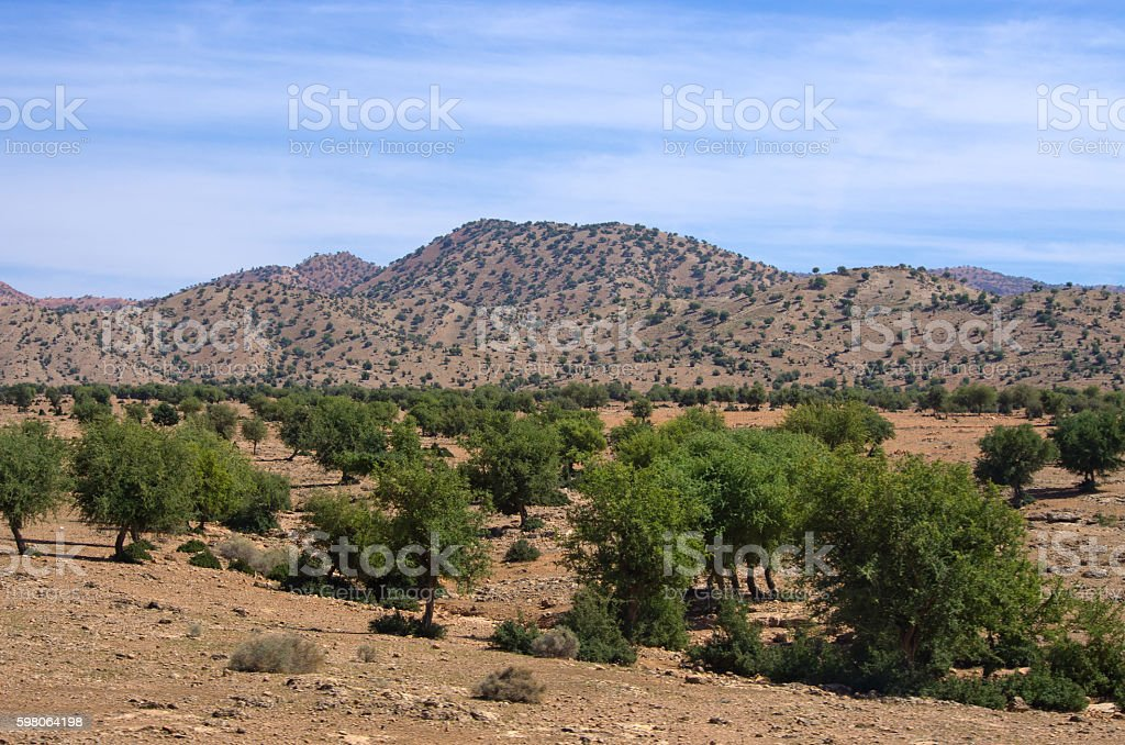 Plantation of argan trees, Morocco stock photo