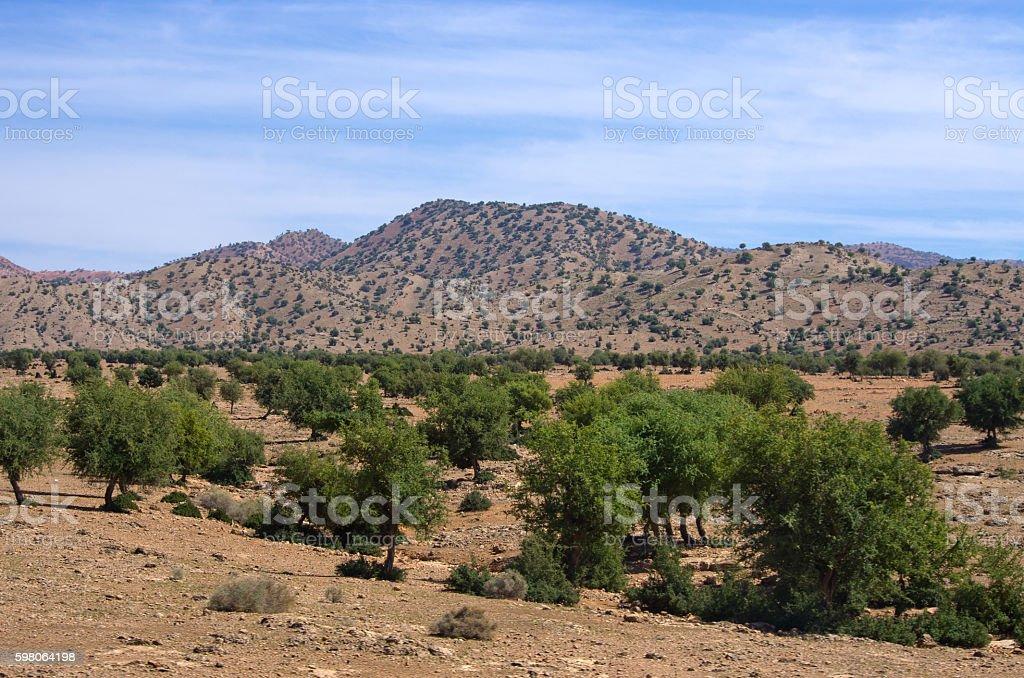 Plantation of argan trees, Morocco stok fotoğrafı