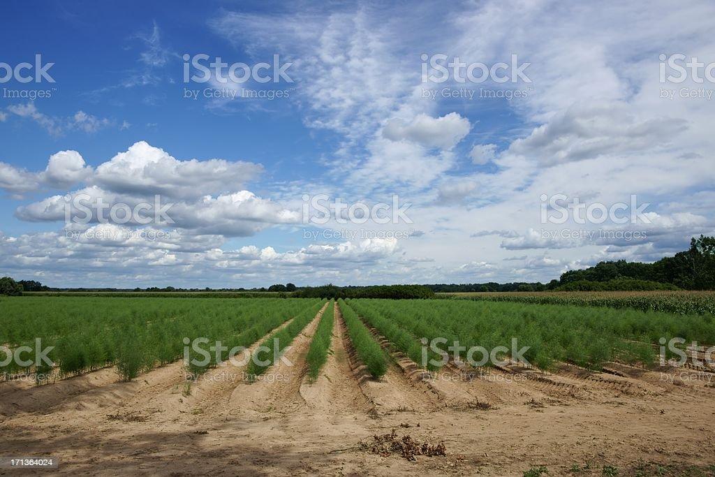 Plantation de espárragos - foto de stock