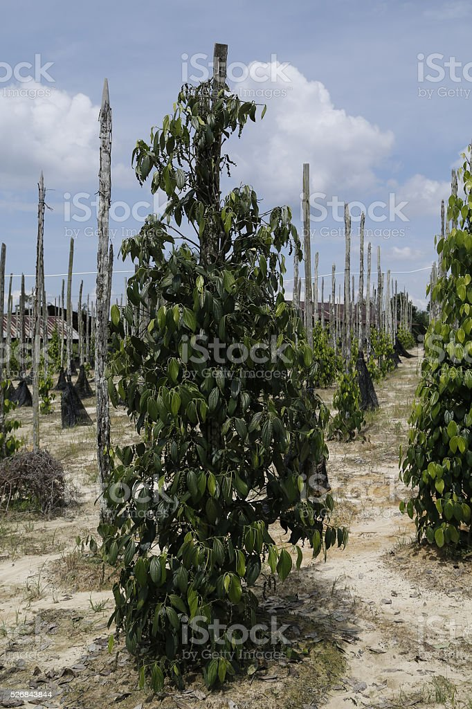 Plantation of black pepper (Piper nigrum) in Sarawak, Malaysia stock photo