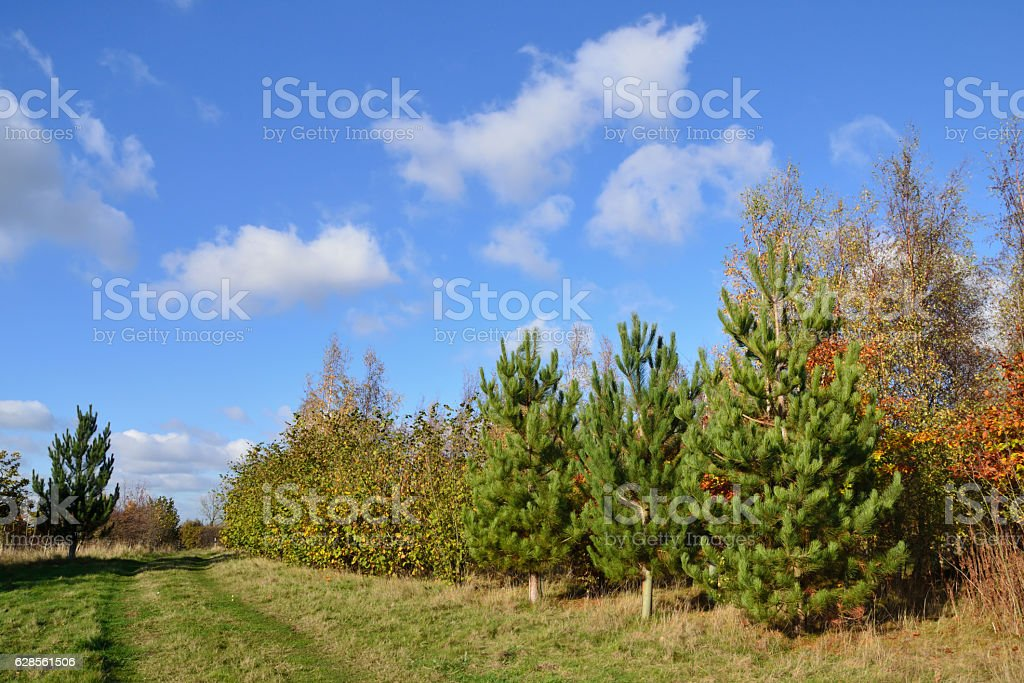 Plantation of coniferous and deciduous trees under a bright blue stock photo