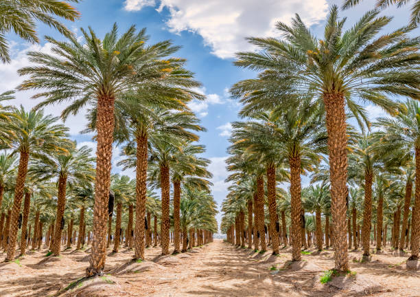 planung von datumspalmen, frühlingszeit im wüstengebiet - palmengarten stock-fotos und bilder
