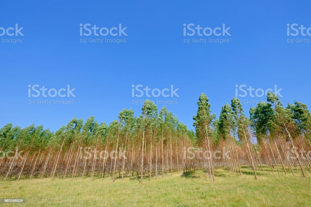 Plantation Of Eucalyptus Trees For Paper Or Timber Industry Uruguay