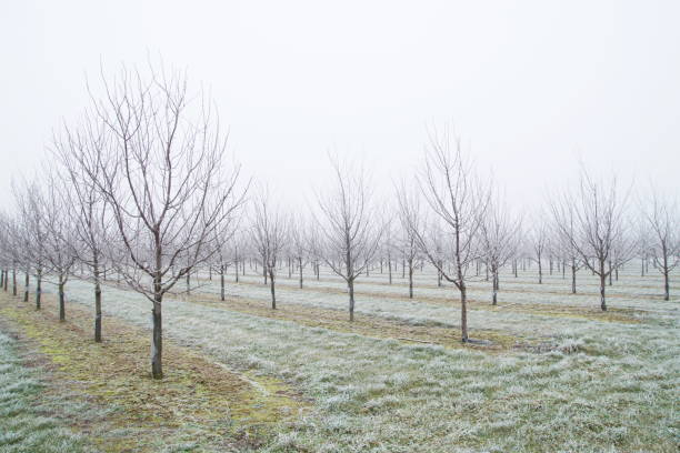 plantation of fruit trees. plum trees after a freezing rain storm in winter and on one day with a fog. Winter frosty fruit tree landscape covered by white flake ice. stock photo