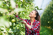 Young woman harvesting granny smith apple at apples plantation