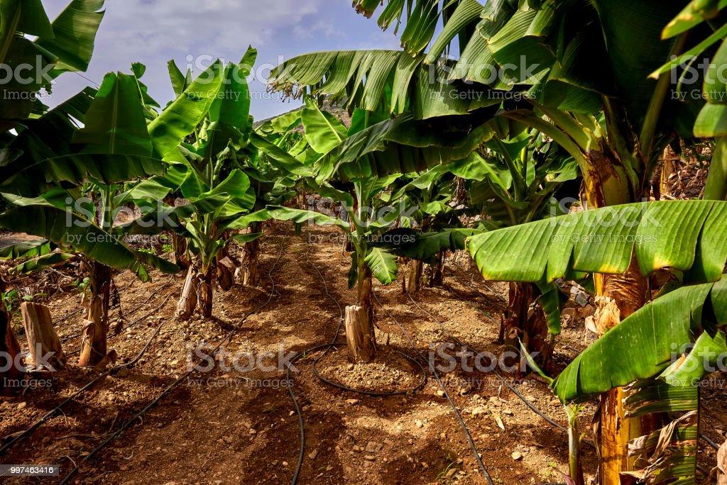 Plantation of green small bananas, Alanya, Turkey stock photo