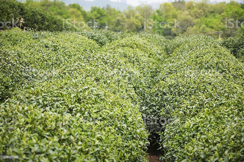 Plantation of longjing tea. royalty-free stock photo