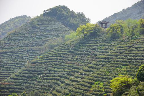 Plantation of longjing tea.