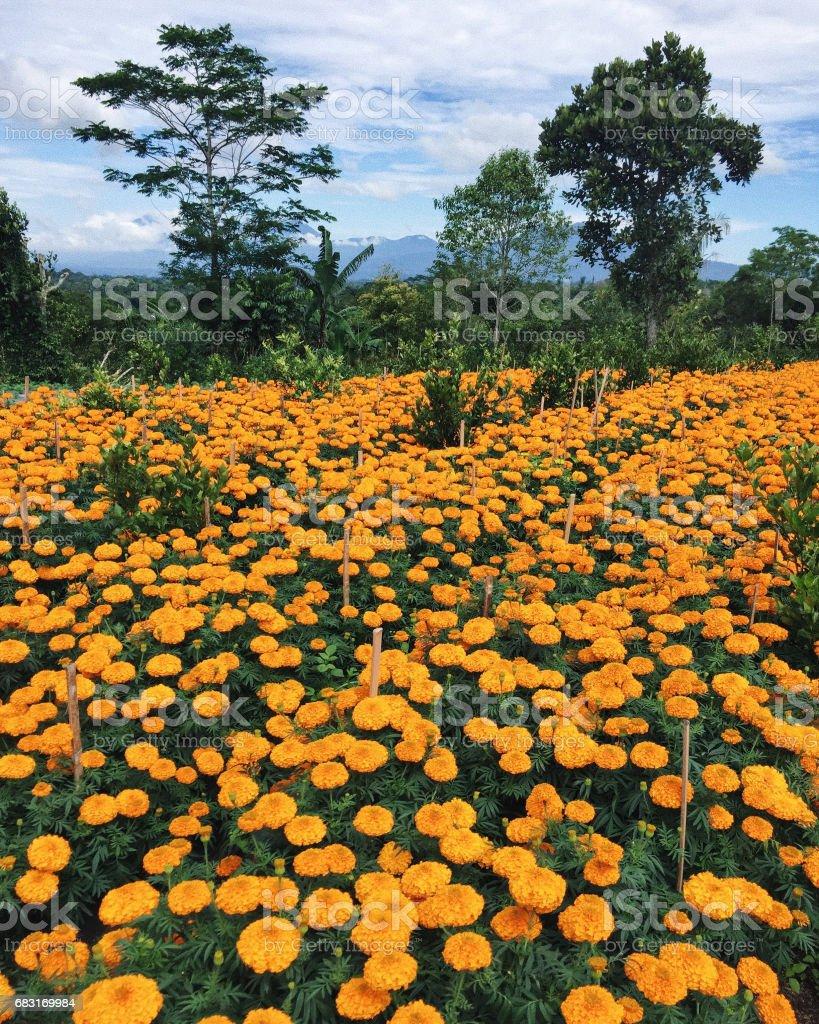 발리 Kintamani의 산악 지역에서 금 잔 화 농장 봄에는 오렌지 꽃과 함께 아름 다운 필드 royalty-free 스톡 사진