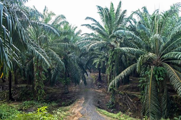 Anpflanzung von Ölpalmen – Foto
