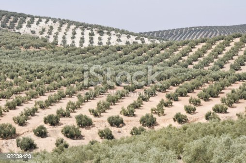 1135138312 istock photo Plantation of olive trees, Andalusia (Spain) 162239423