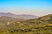 Plantation of olive trees in Crete, the island of olive trees, as far as the eye can see, there are only olive trees