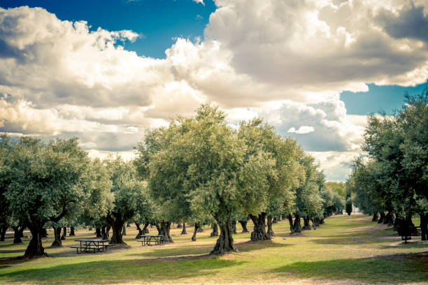 plantation of olive trees in the park plantation of olive trees in the park  for leisure activities wit clouded sky olives stock pictures, royalty-free photos & images