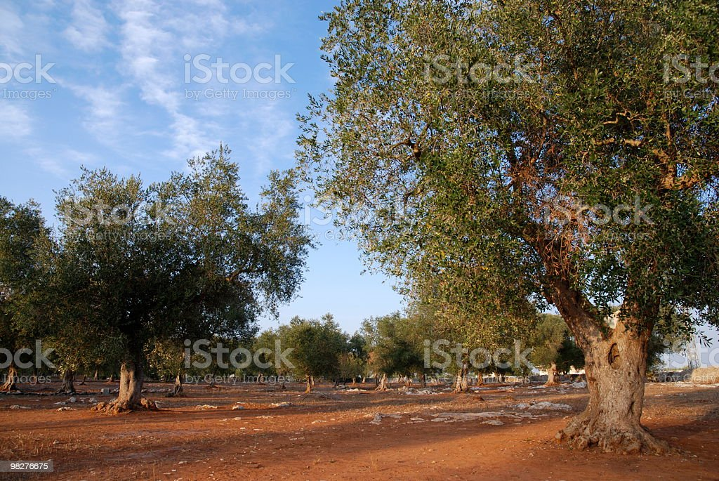 Plantation of olives for Italian extra vergine oil royalty-free stock photo