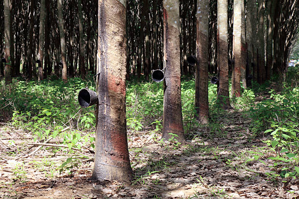 Plantation of rubber trees stock photo