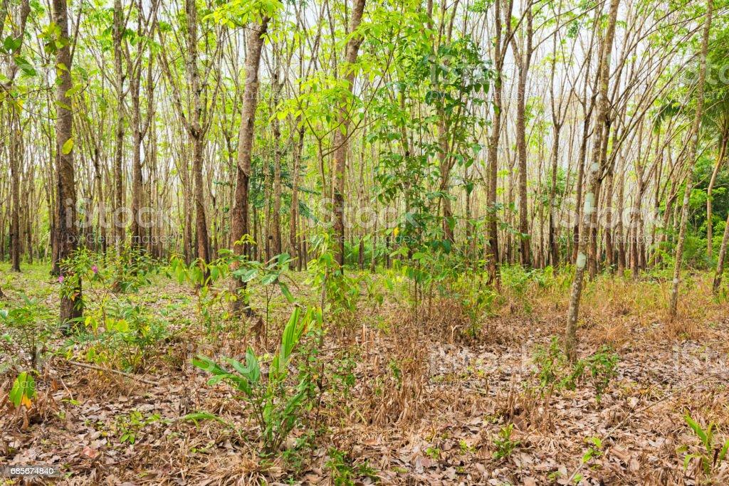 Plantation Of Rubber Trees royalty-free stock photo