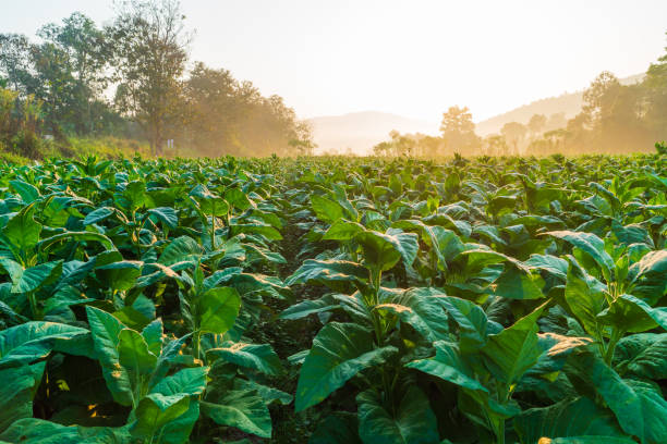 Plantation of tobacco plants under the sunrise and white sky during winter in Chiang Mai. Plantation of tobacco plants under the sunrise and white sky during winter in Chiang Mai. nicotine stock pictures, royalty-free photos & images