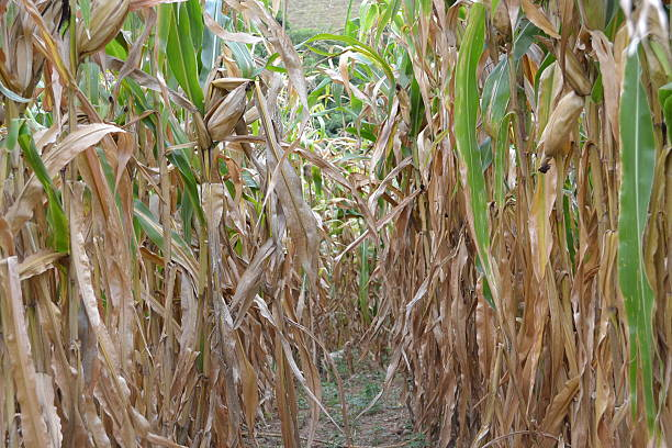 plantation stock photo