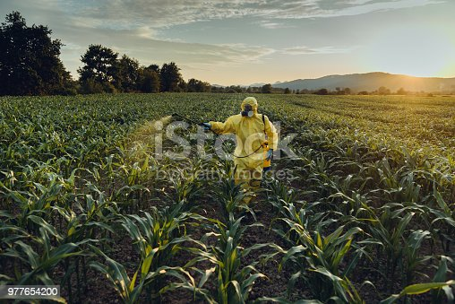 Worker spraying toxic pesticides or insecticides on corn plantation