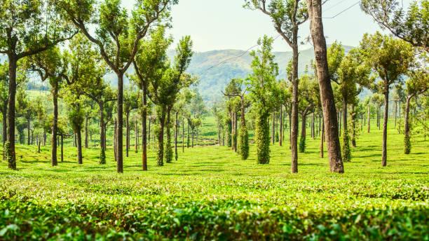 Plantations of green tea stock photo
