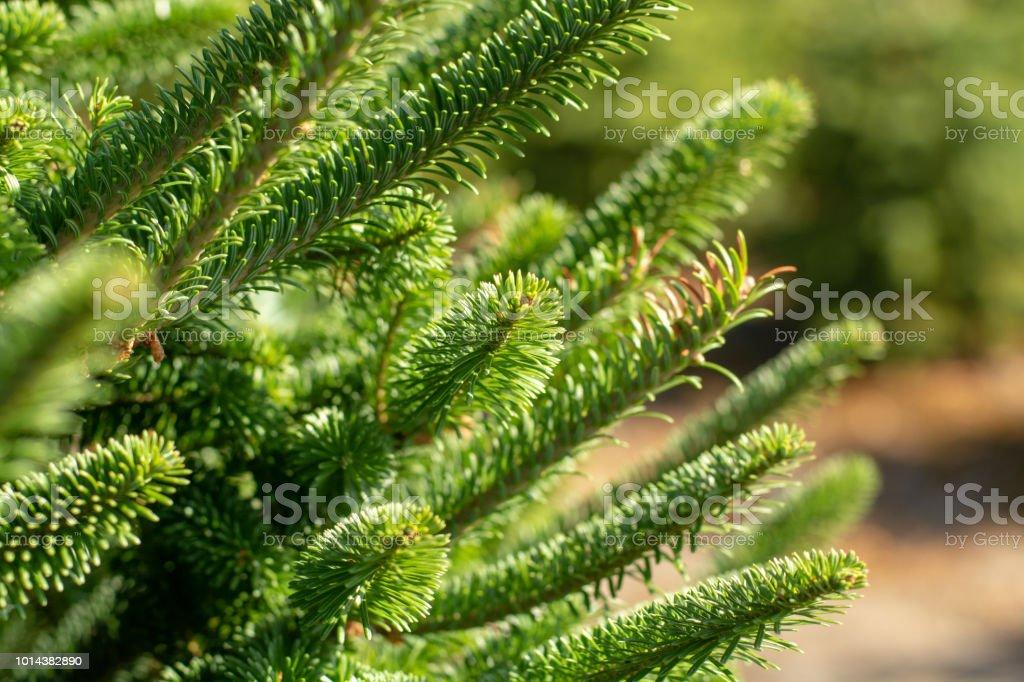 Plantatnion of young green fir Christmas trees, nordmann fir and...