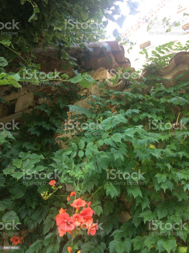 Plante Sur Les Murs plante grimpante sur un mur de pierres stock photo