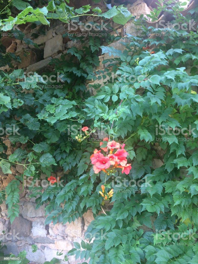 Plante Sur Les Murs plante grimpante sur un vieux mur de pierres stock photo