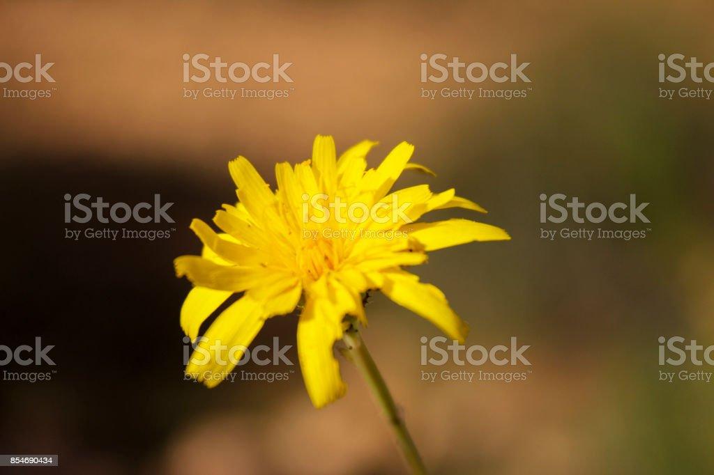 Plante Sauvage Fleur Jaune La Pilounette Stock Photo More Pictures