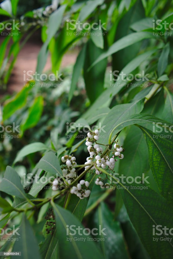 Plante Verte Et Fruits Blancs De Jardin Stock Photo Download Image Now Istock