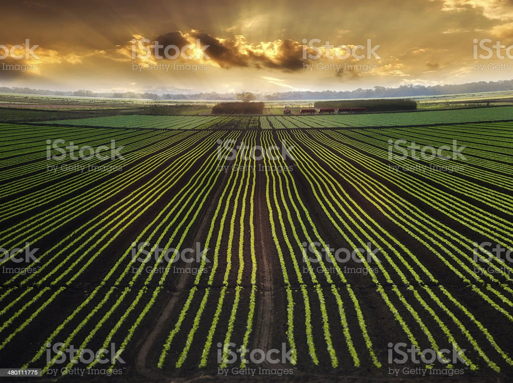 Planted Field stock photo